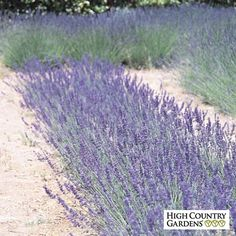 Royal Velvet English Lavender (Lavandula) is very showy in bloom. This perennial plant is covered with navy blue and lavender flower spikes. Long Flowers, Lavender Flowers, Lavender Blue, Blue Flowers, Lavender Plants For Sale, Growing Lavender, Bee Friendly Plants, Eco Friendly, Spanish Lavender