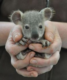 baby koala...these suckers bite hard!