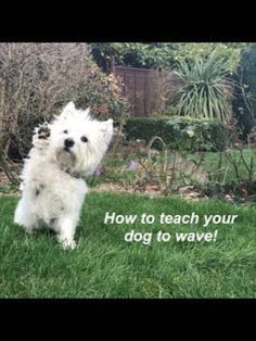After mastering 'Shake Hands' 'Shake' command, you can teach how to 'Wave' to your puppy. Ask your dog 'shake hands' command to your dog, reach down to take his paw but do not touch the paw. Cool Dog Tricks, Whoodle Dog, Tiny Dog Breeds, Dog Growling, Dog Shaking, Dog Commands, Shake Hands, Dog Paws, Dog Behavior