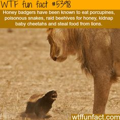 Honey badgers - WTF fun facts. Wow honey badgers are hard core!