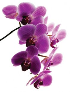 I really want a pretty potted orchid for my house. Purple. Or white. Or one of each :)