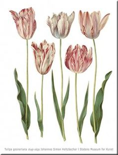 Tulipa gesneriana Wall Art, print size 84 cm x 120 cm 1649-1659 Johannes Simon Holtzbecher SMK.dk