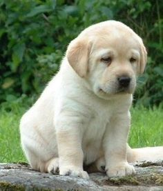 """Excellent """"Labrador retrievers"""" detail is offered on our site. Take a look and you wont be sorry you did. Excellent Labrador retrievers detail is offered on our site. Take a look and you wont be sorry you did. Cute Labrador Puppies, Cute Dogs And Puppies, Baby Dogs, Pet Dogs, Corgi Puppies, Doggies, Pets, Weiner Dogs, Black Labrador Retriever"""