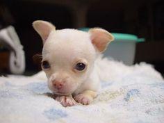 OMG.....Chihuahua pup