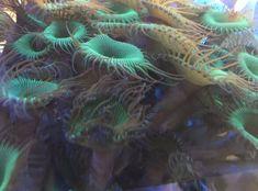 #giftige Tiere im Meerwasseraquarium
