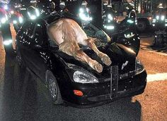 Have you ever seen the horse inside the car, take a look in below picture. The driver of the car make accident with a horse and create a funny incident. Don't know how this horse goes inside the car.