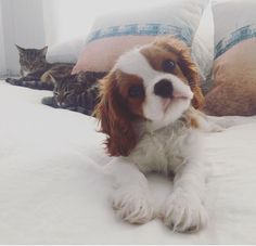 Winston the Cavalier King Charles Spaniel Puppy CKCS