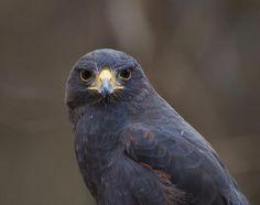 Harris Hawk by Chris Flees #hawk #wildlife