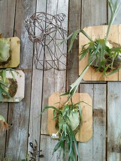 Staghorn ferns mounted