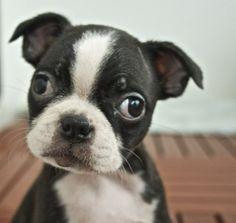 Boston Terrier puppy nathanginger