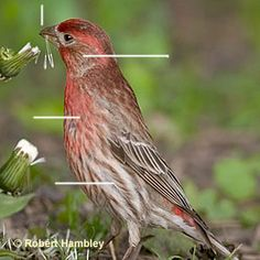 lately I have more red house finches than yellow