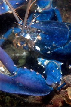An extremely rare blue lobster