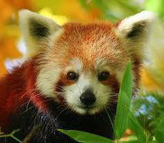 kleine rode panda - Google zoeken