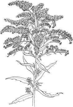 Solidago or Goldenrod Coloring page