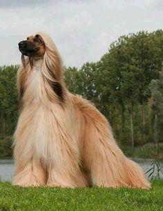 Beautiful Afghan Hound