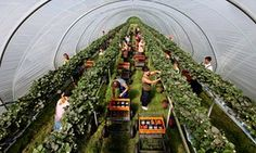 Strawberry pickers, mostly from Poland, in poly-tunnels on a farm in Kent. ... If EU workers go will robots step in to pickup their jobs