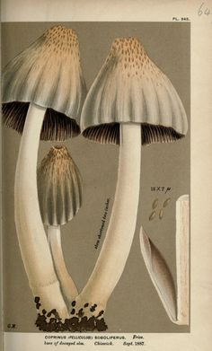 "Illustrations of British Fungi (Hymenomycetes), to serve as an atlas to the ""Handbook of British Fungi"". By Cooke, Mordecai Cubitt, Publ. Mushroom Crafts, Mushroom Art, Mushroom Fungi, Plant Illustration, Botanical Illustration, Antique Illustration, Botanical Drawings, Botanical Prints, Mushroom Pictures"