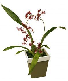 Oncidium sharry baby: Com cheiro de chocolate, essa orquídea de cor sempre amarronzada tem uma quantidade grande de flores, que medem cerca de 3 x 3 cm e duram de 20 a 30 dias. A planta atinge entre 15 e 25 cm de altura, e pode ser presa a um arame para se estabilizar. Geralmente, floresce uma vez ao ano. Deve ficar à meia-sombra, evitando o sol direto entre 11h e 14h.   A rega depende do substrato que vem no vaso: casca de madeira absorve mais rápido a água, pedindo regas mais frequentes…