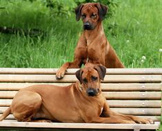 Since they were formerly bred in Africa, they are able to take on a lot of activity even in very high temperatures. Weather does not slow them down! The Rhodesian Ridgebacks need to be taken on several walks each day and have plenty of time to run in the outdoors.  The Rhodesian Ridgeback Temperament is such that without ample amounts of exercise, this breed can become quite destructive and anxious.