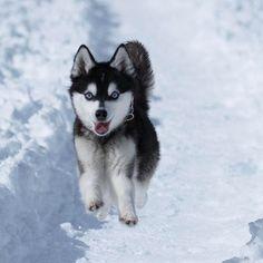 Siberian Husky Pup ~ Classic Look