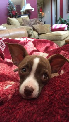 chihuahua Boston terrier mix