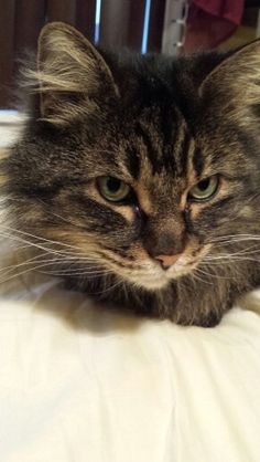Isis the Maine Coon cat ♡