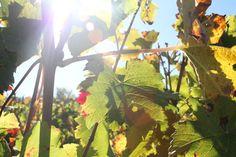 Chateau Lamartine Castillon Cotes de Bordeaux . Photo Erwan Giraud 10/2018 Bordeaux, Plant Leaves, Photos, Fruit, Plants, Garden, Pictures, Garten, Bordeaux Wine