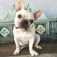 Meet Fleur! Dumped by the breeder after refusing to nurse her puppies. She still has a fresh C-Section scar. Just 1 1/2 years old. Very sweet girl. Will be available for adoption soon! In the meantime if you're in CA, have Frenchie experience, and are interested in fostering, let me know!