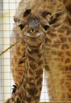hahaha cute baby giraffe