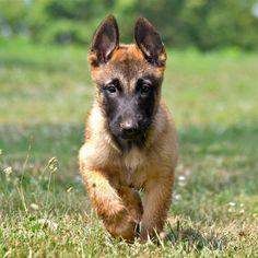 Pastor-belga Malinois, Malinois Shepherd, Berger Malinois, Belgian Malinois Puppies, Weimaraner, I Love Dogs, Cute Dogs, Belgium Malinois, Most Beautiful Dogs