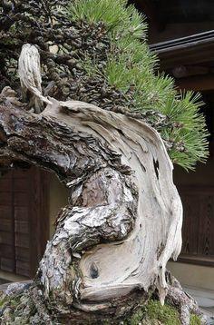 _P4A7112 Pine Bonsai, Bonsai Art, Bonsai Garden, Bonsai Trees, Weird Trees, Garden Sculpture, Lion Sculpture, Beautiful Flowers Wallpapers, Belleza Natural