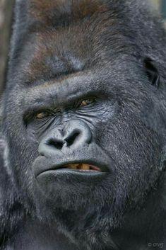 I know it's a gorilla !!!