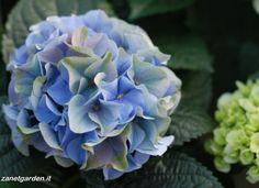 ortensia in blu