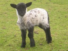 Blessed sheep by Mikey X, via Flickr