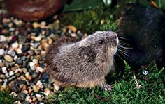 Collared lemmings are the only rodents with coats that change to a white color. They have another interesting adaptation to winter. Hamsters, Rodents, Arctic Animals, Chipmunks, Squirrels, Mice, Rats, Mammals, Collars
