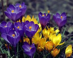8010f429c Vanguard Giant Crocus 12 Bulbs - 8 9cm - Pale Lilac-Toned Flowers ...