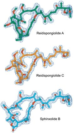 Fig. 2. All three toxins bind at the barbed-end of actin. Marine macrolides that disrupt the actin cytoskeleton are promising candidates for cancer treatment.