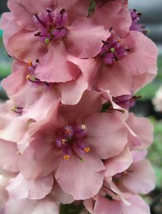 "Verbascum hybrid, 'Southern Charm', 24""-30"" tall, drought tolerant https://www.anniesannuals.com/plants/view/?id=1098"