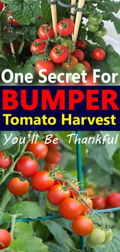 Growing Tomatoes Learn how and why Staking Tomatoes can improve the health of your tomato plants and help you to have a bumper harvest! - Learn how this one secret thing can improve the health of your tomato plants and help you to have a bumper harvest!