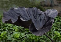Check out this awesome plant! Leafy Plants, Garden Plants, Fruit Plants, Rabbit Resistant Plants, Mail Order Plants, Black Garden, Black Leaves, Elephant Ears, Hardy Perennials