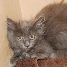 Chococat is a sweet kitten who is available for adoption at our Mission campus!