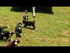 Border Collie Puppies  (video)