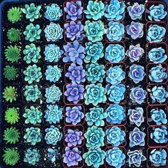 Суккуленты   цветы, суккуленты