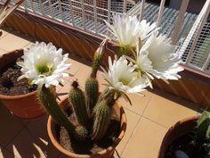 Echinopsis schickendatzii