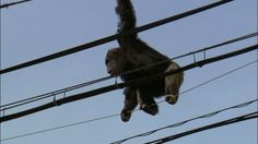 WATCH: Chimp Escapes Zoo, Refuses to Go Back | Elvis Duran and the Morning Show