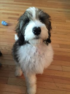 3 months old :) Sable Mini Bernedoodle I Love Dogs, Puppy Love, Bernese Mountain Dog Poodle, Cute Puppies, Dogs And Puppies, Goldendoodle, Schnauzers, Animals And Pets, Cute Animals