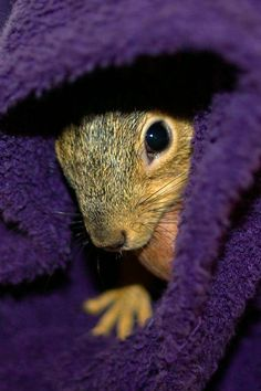 Squirrel snuggling in purple robe.