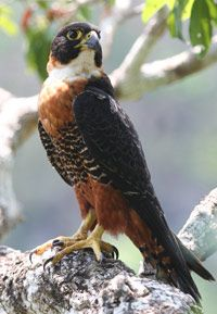Orange Breasted Falcon