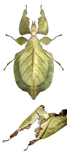 Phyllium bioculatum, female