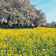 桜と菜の花 まさに見頃  #sakura #cherryblossom #niigata #park #miniphotowalk #photowalk #photowalking #iphoneonly #iphonegraphy #iphoneography #iosphotography #fbp